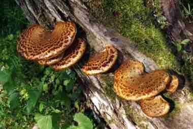 Dryad's Saddle Fungi On Log