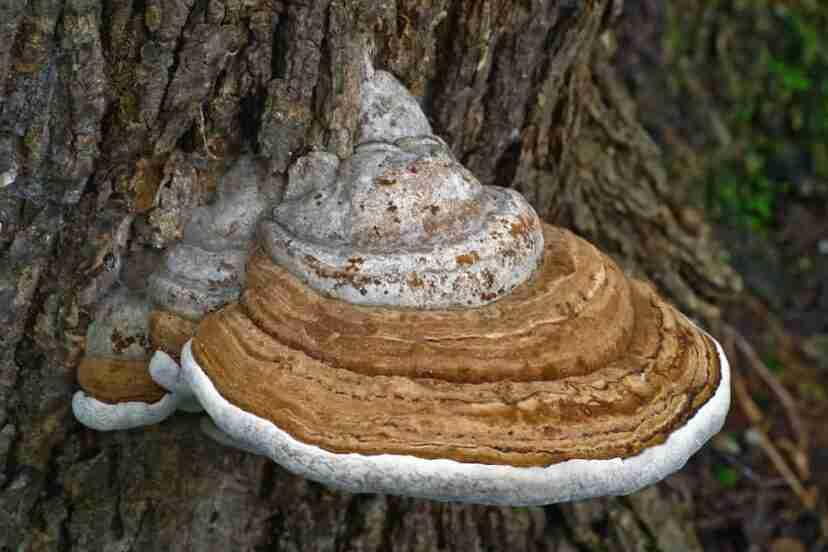 Artists Conk Mushrooms