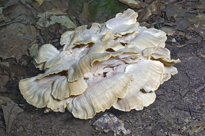 Black Staining Polypore