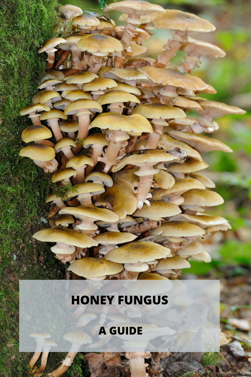 Honey fungus - pinterest